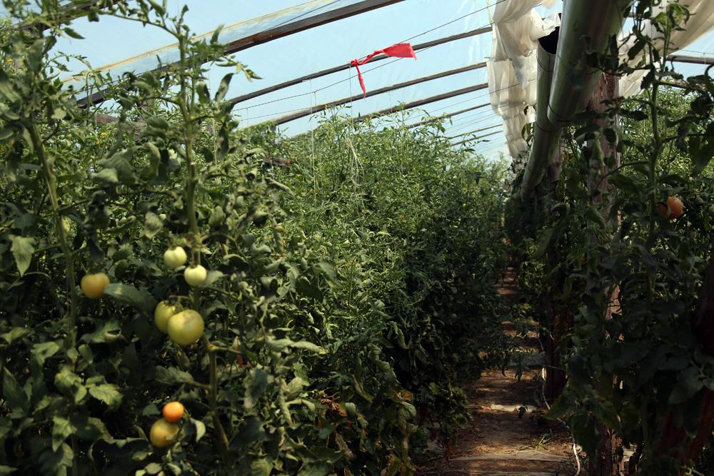 Выращивание огурцов и помидоров в теплице, семена для